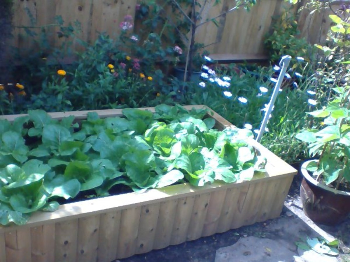 Growing Chinese cabbage