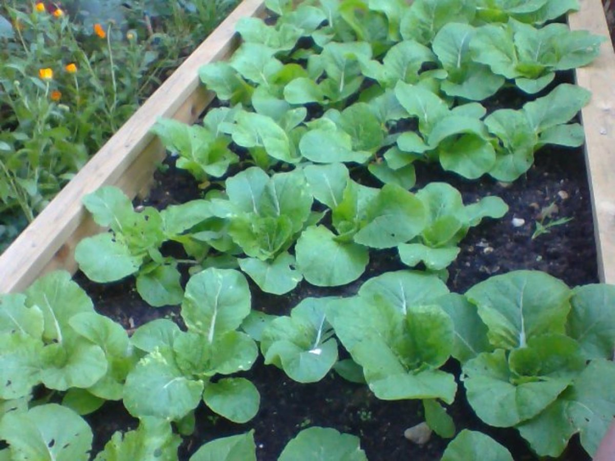 How to Grow Chinese Cabbage and a Stir Fry Recipe