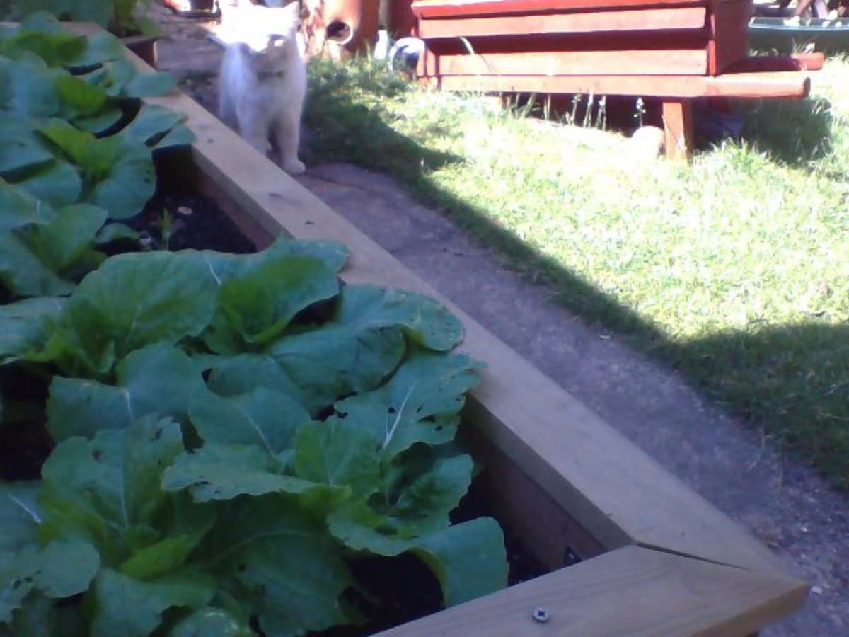 My neighbour's cat came to visit my Chinese cabbage. She likes it as well.