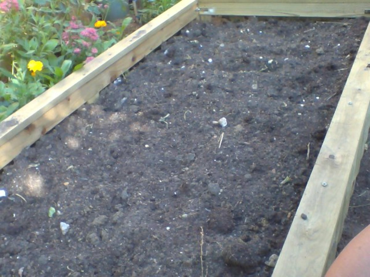 Preparing the raised-bed for the planting of the Chinese Cabbage