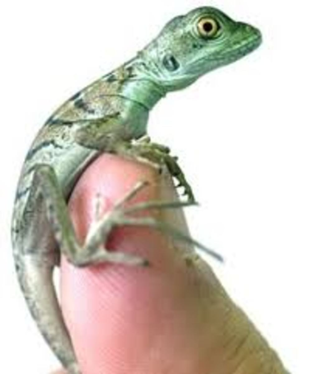 Basilisk hatchling on top of thumb