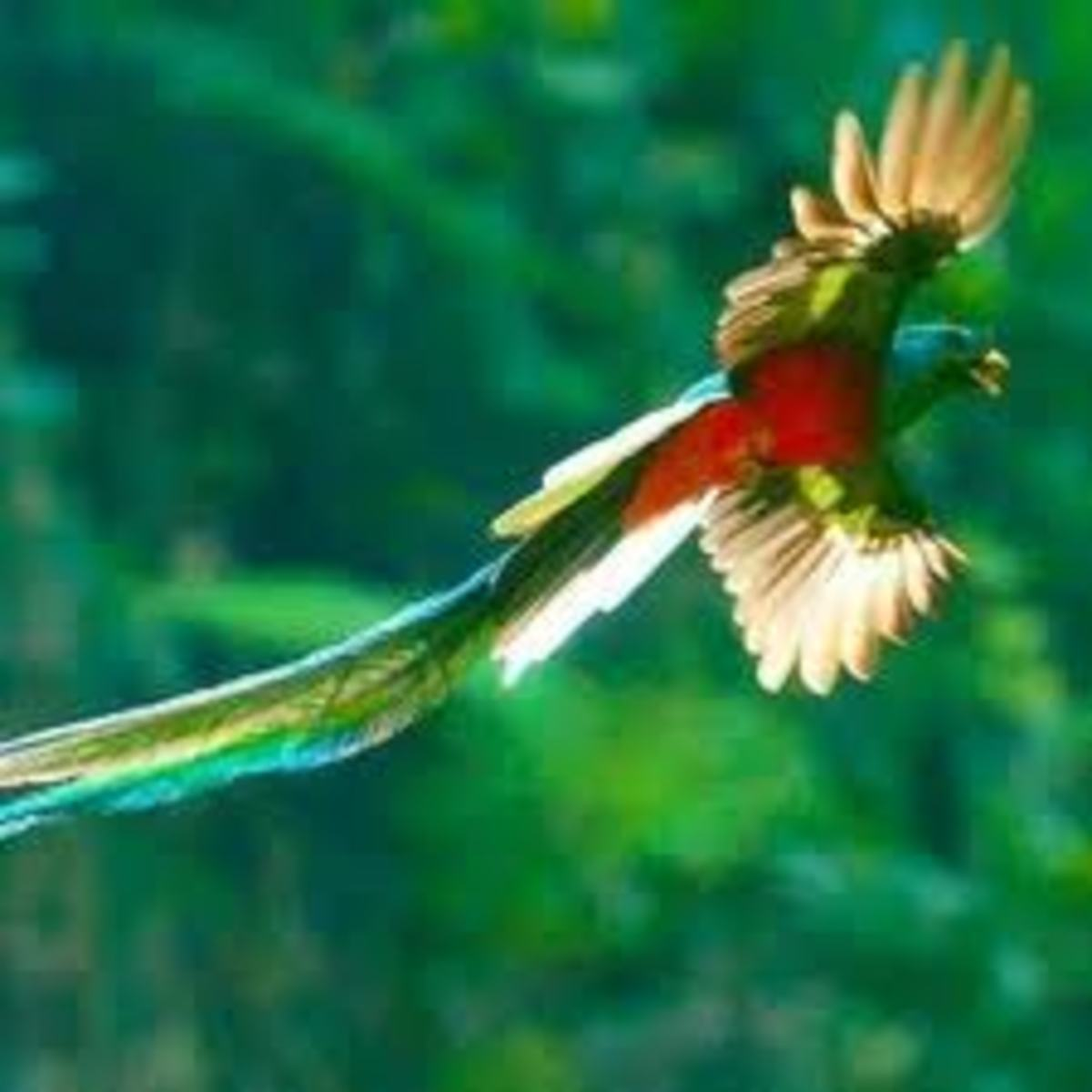 Beautiful but dangerous Quetzal