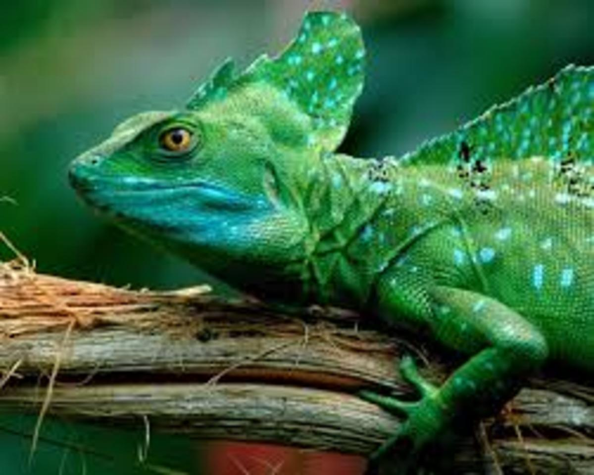Weird Animals - the Green Basilisk Lizard