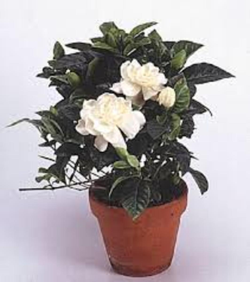 Gardenia house plant - another way to bring the lovey gardenia inside the house.