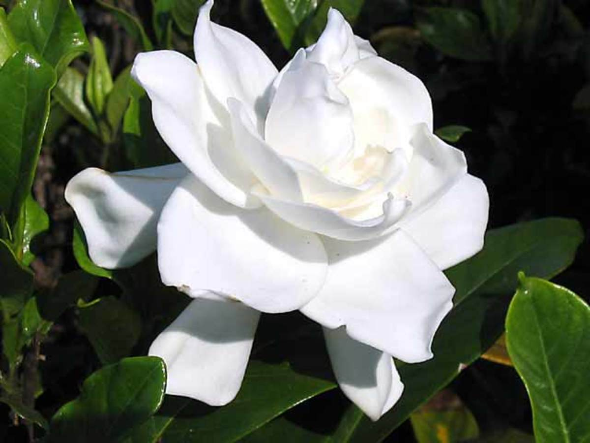 the-gardenia-a-florida-flower-beauty-and-my-favorite