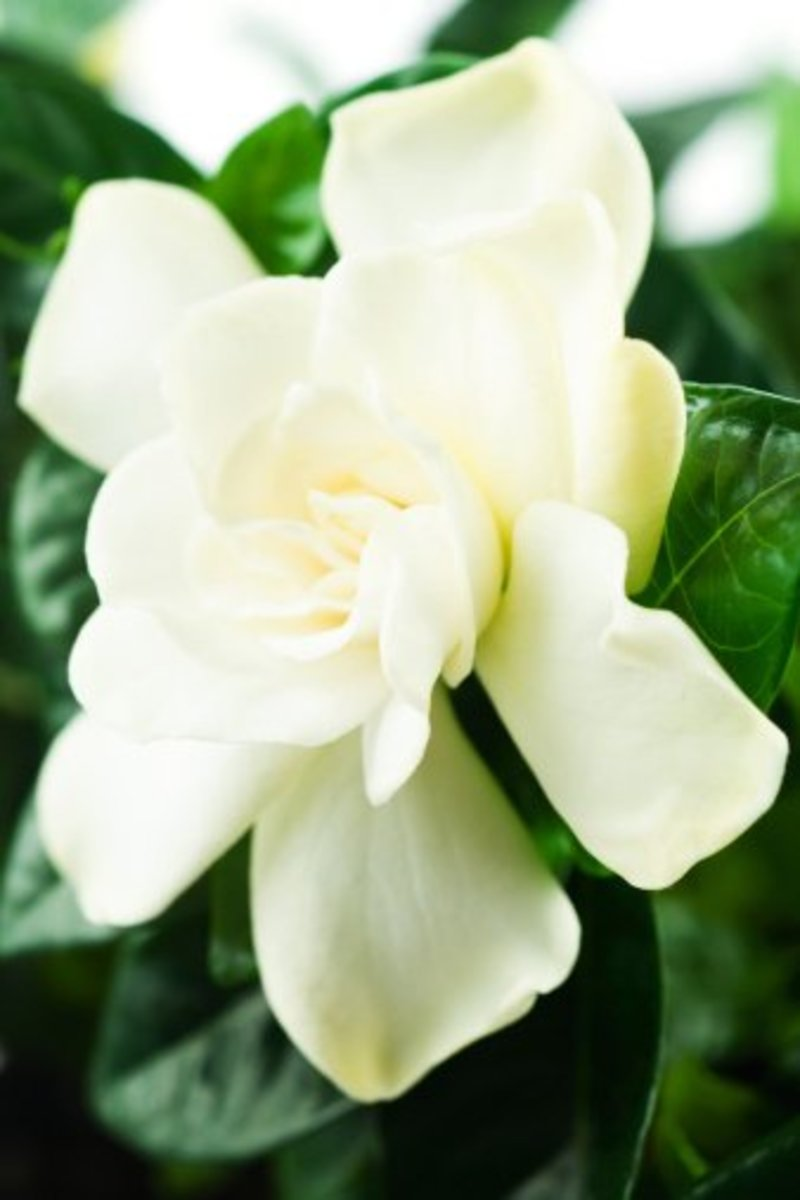 The Gardenia - a Florida flower beauty and my favorite