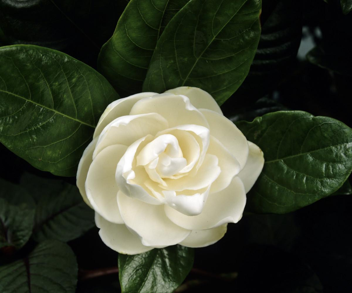 Gardenia divine