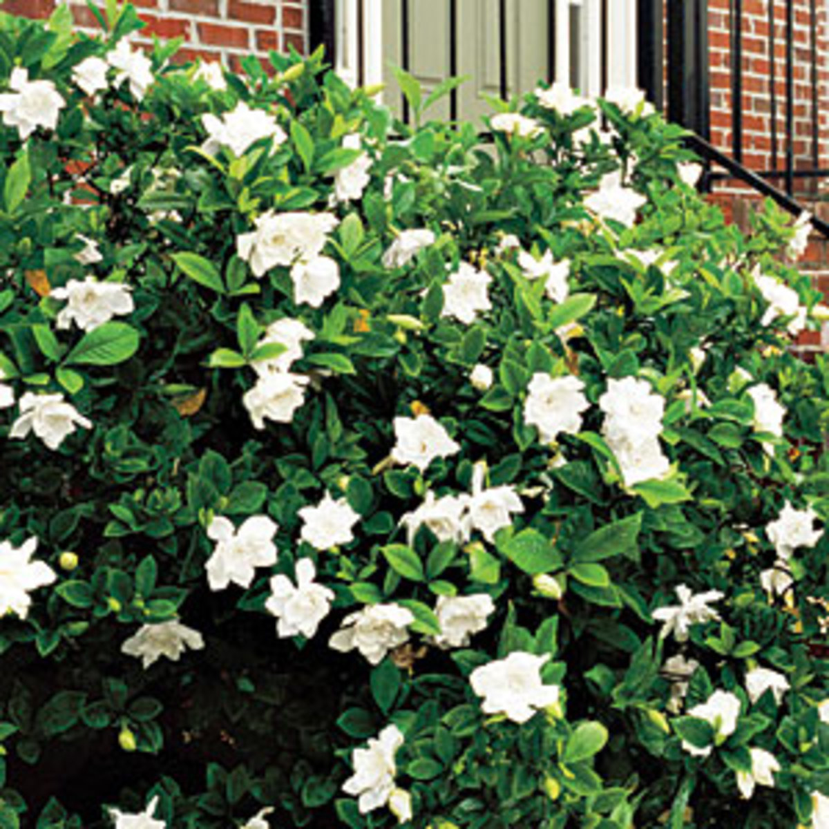 The gardenia bush or plant.