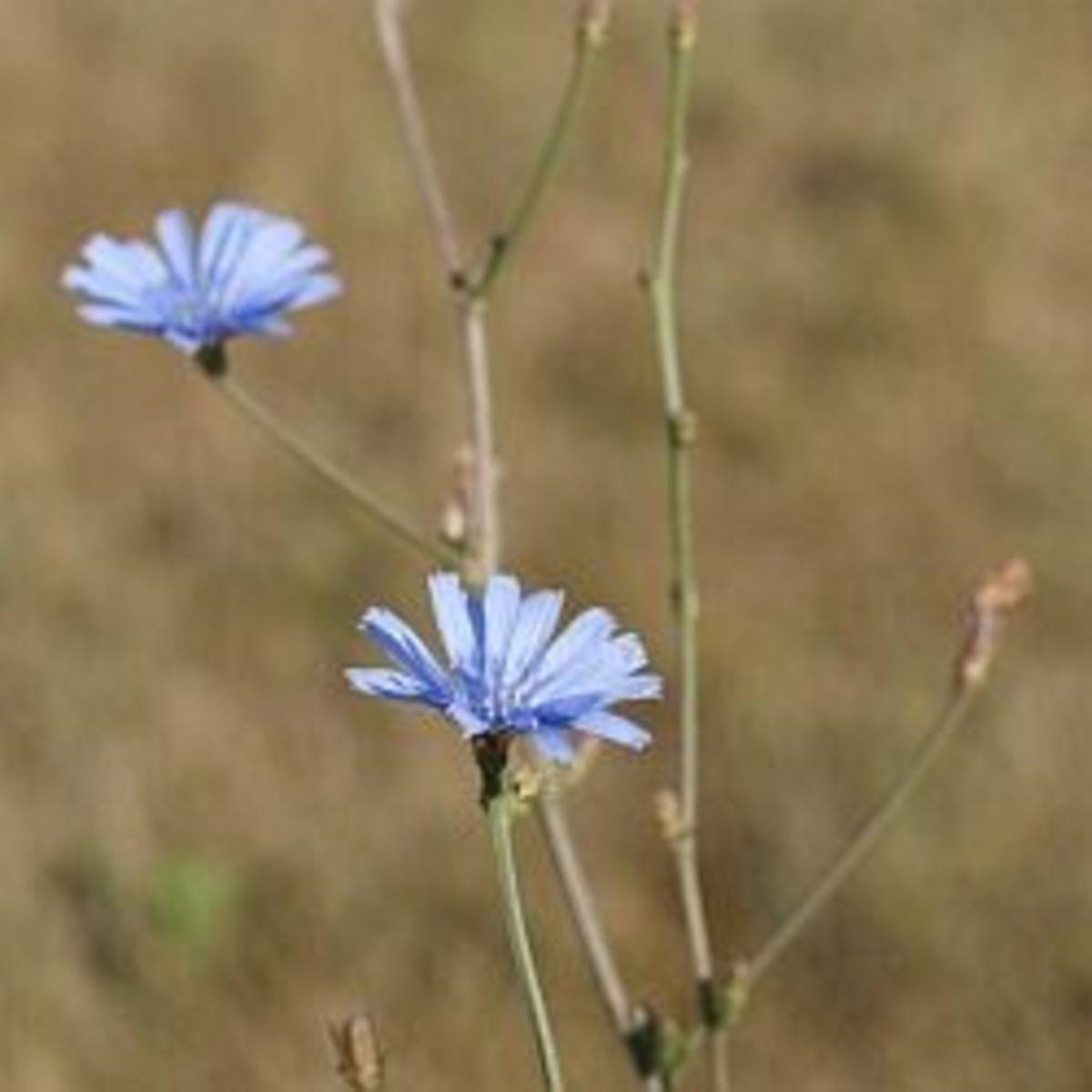 Chicory (Photo Credit: F. D. Richards)