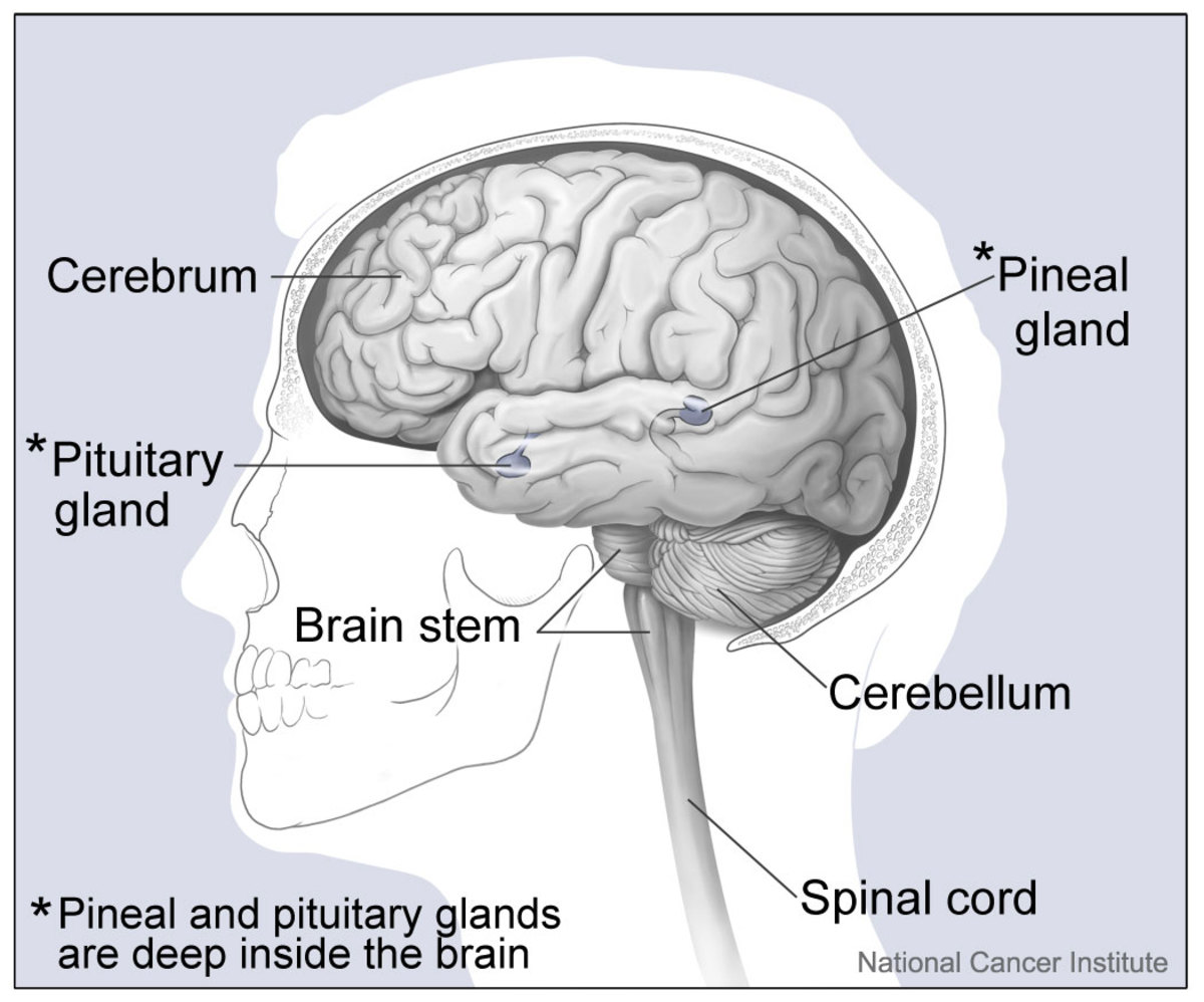The pineal gland is the size of a pea