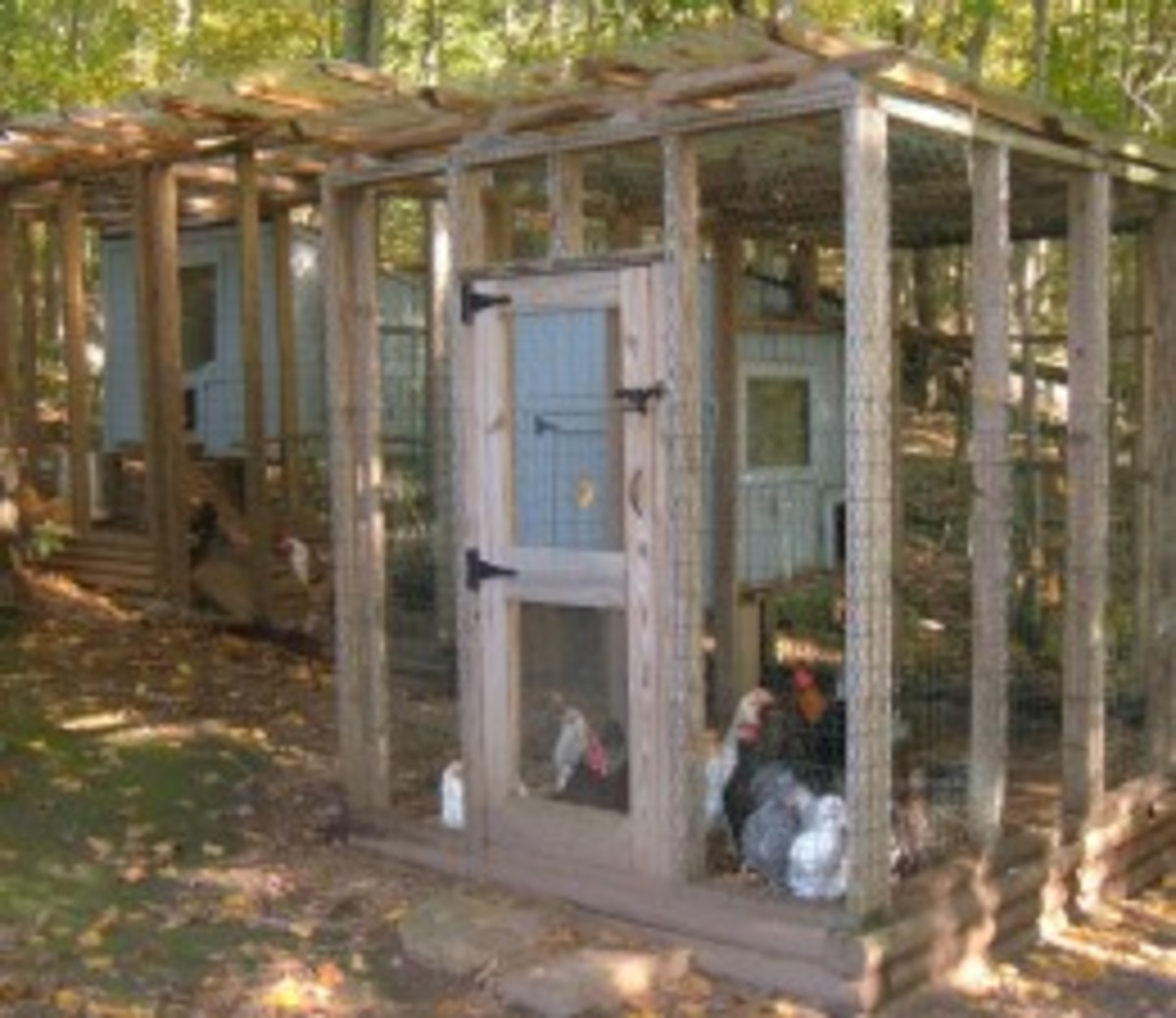 raising-backyard-chickens-for-home-grown-chicken-eggs