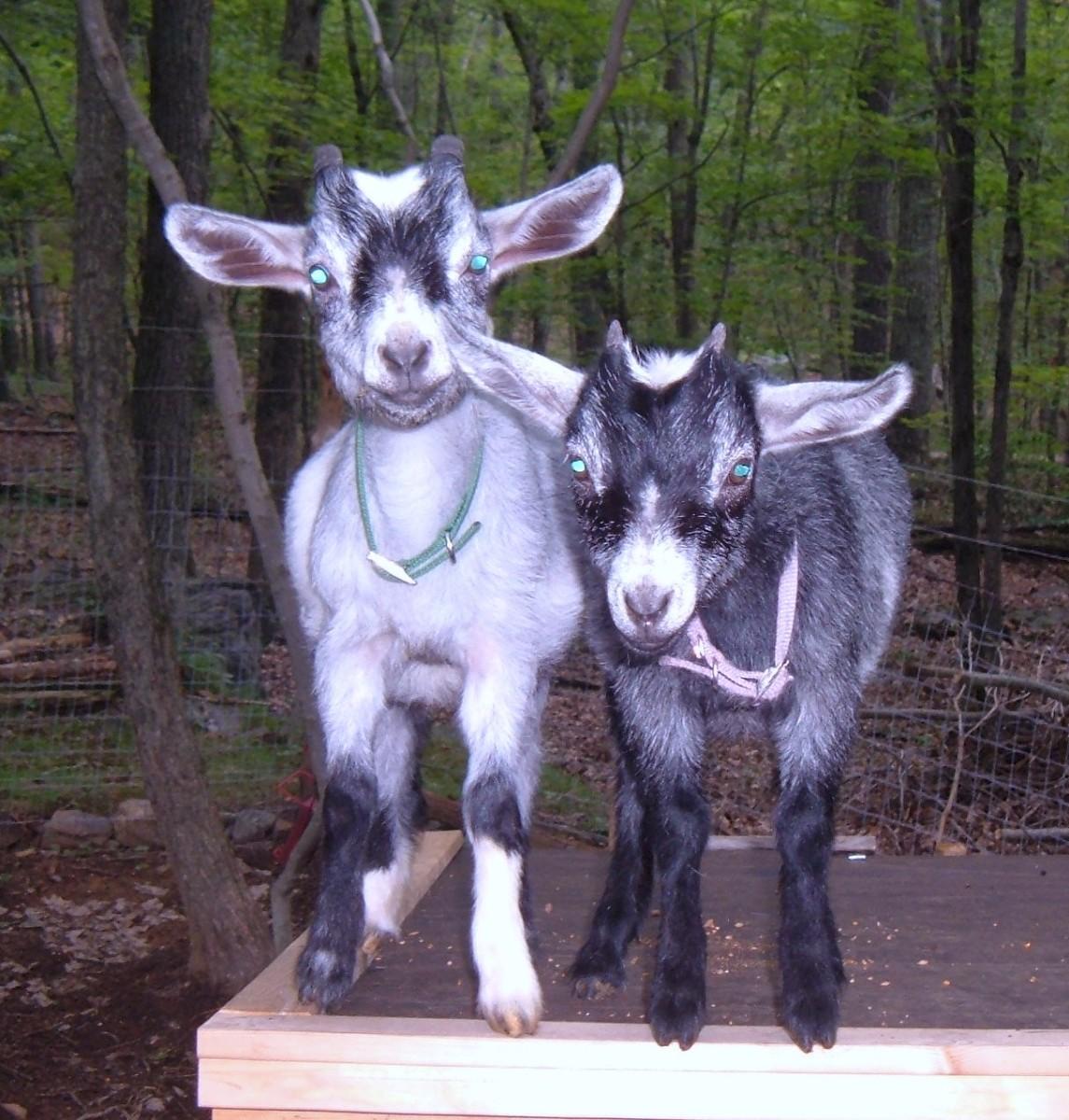 Pet Pygmy Goats