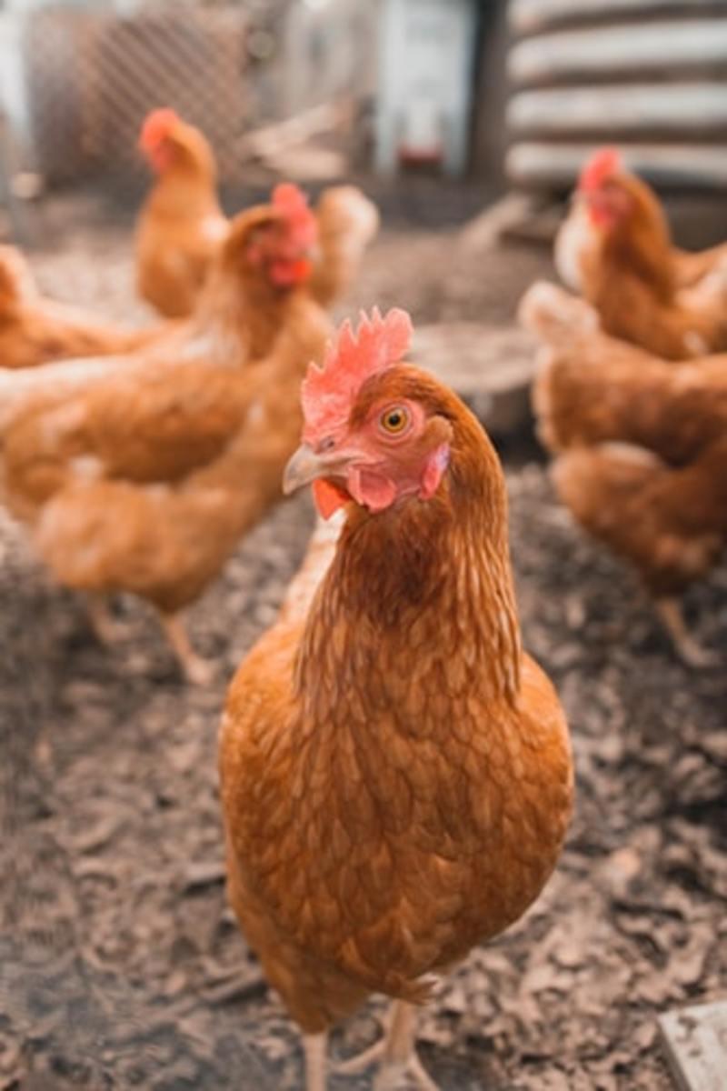 chick-fila-a-cobb-salad