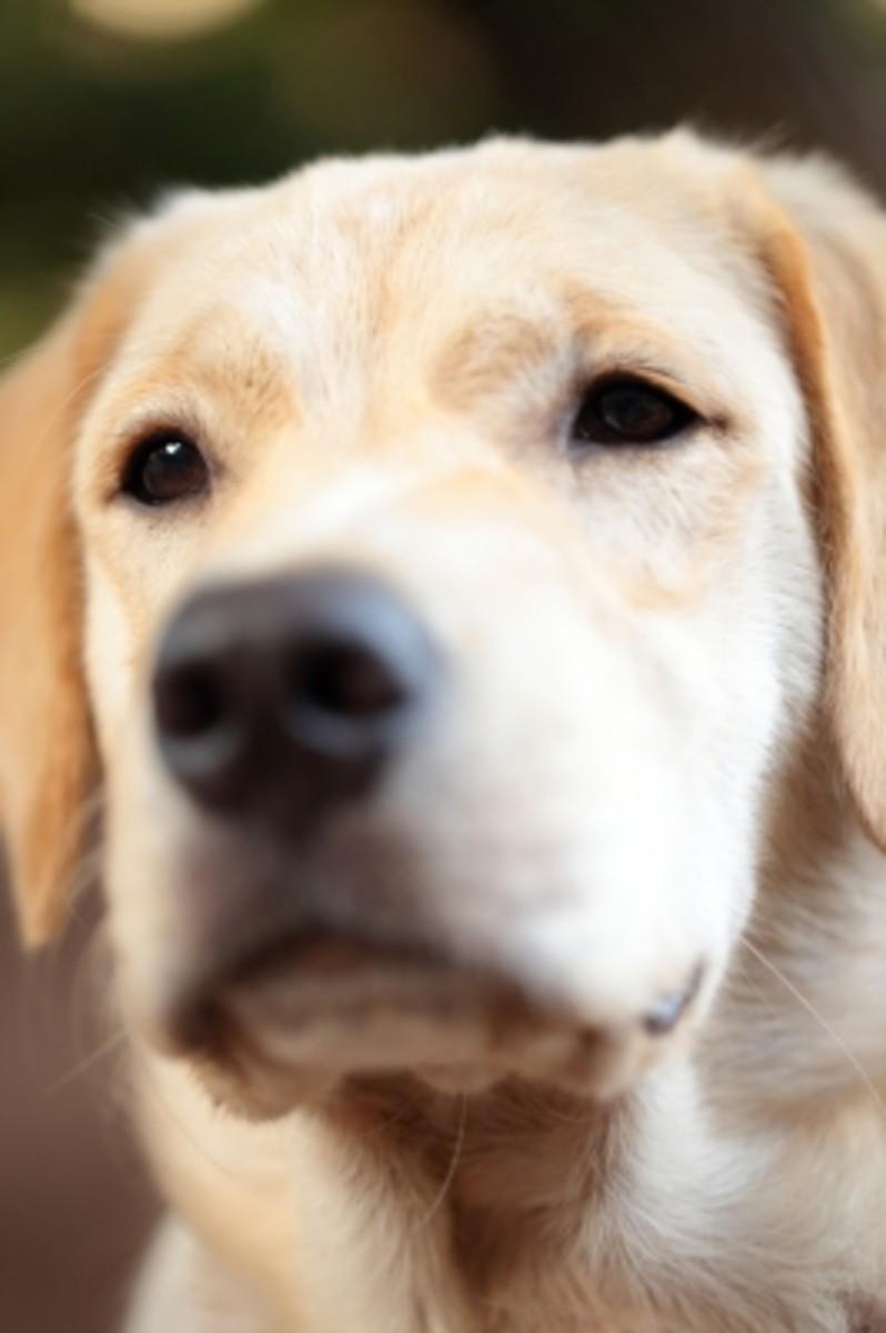 What a cute Golden Labrador!