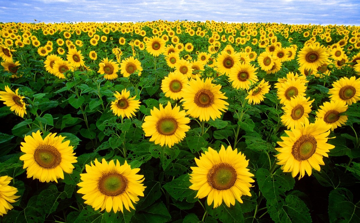 Each sunflower is a burst of sunshine!