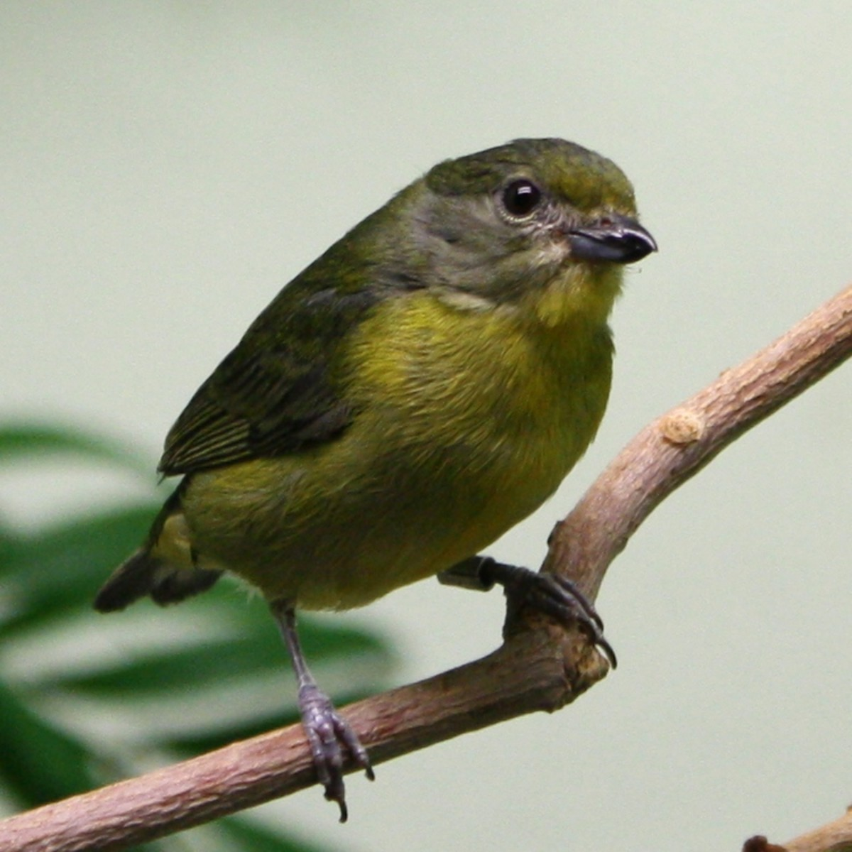 This is such a cute bird. It is a yellow violaceous euphonia bird.