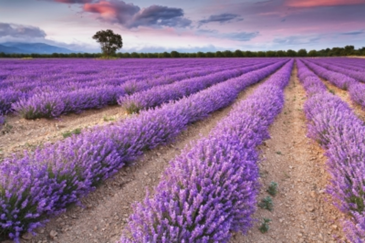 The lavender is so tranquil!