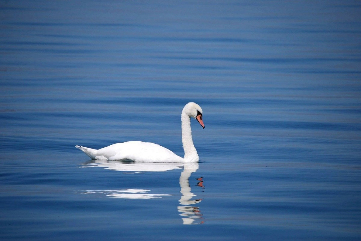 This is quite an elegant swan.