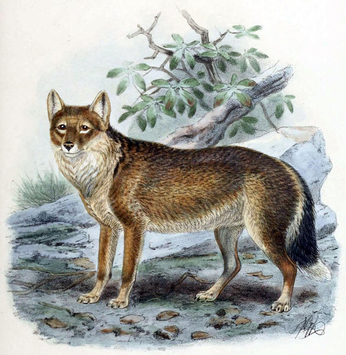 A Falkland Island Wolf