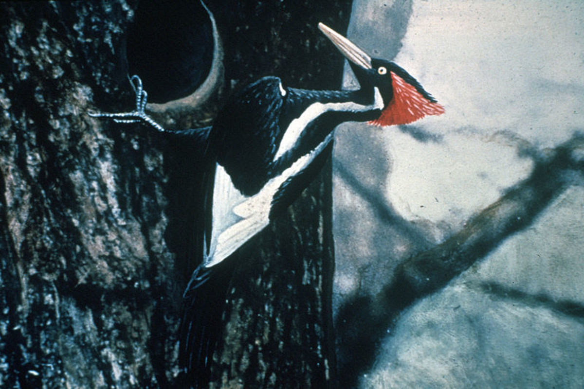 A hand-coloured photograph of a male Ivory-Billed Woodpecker, published in 1935.