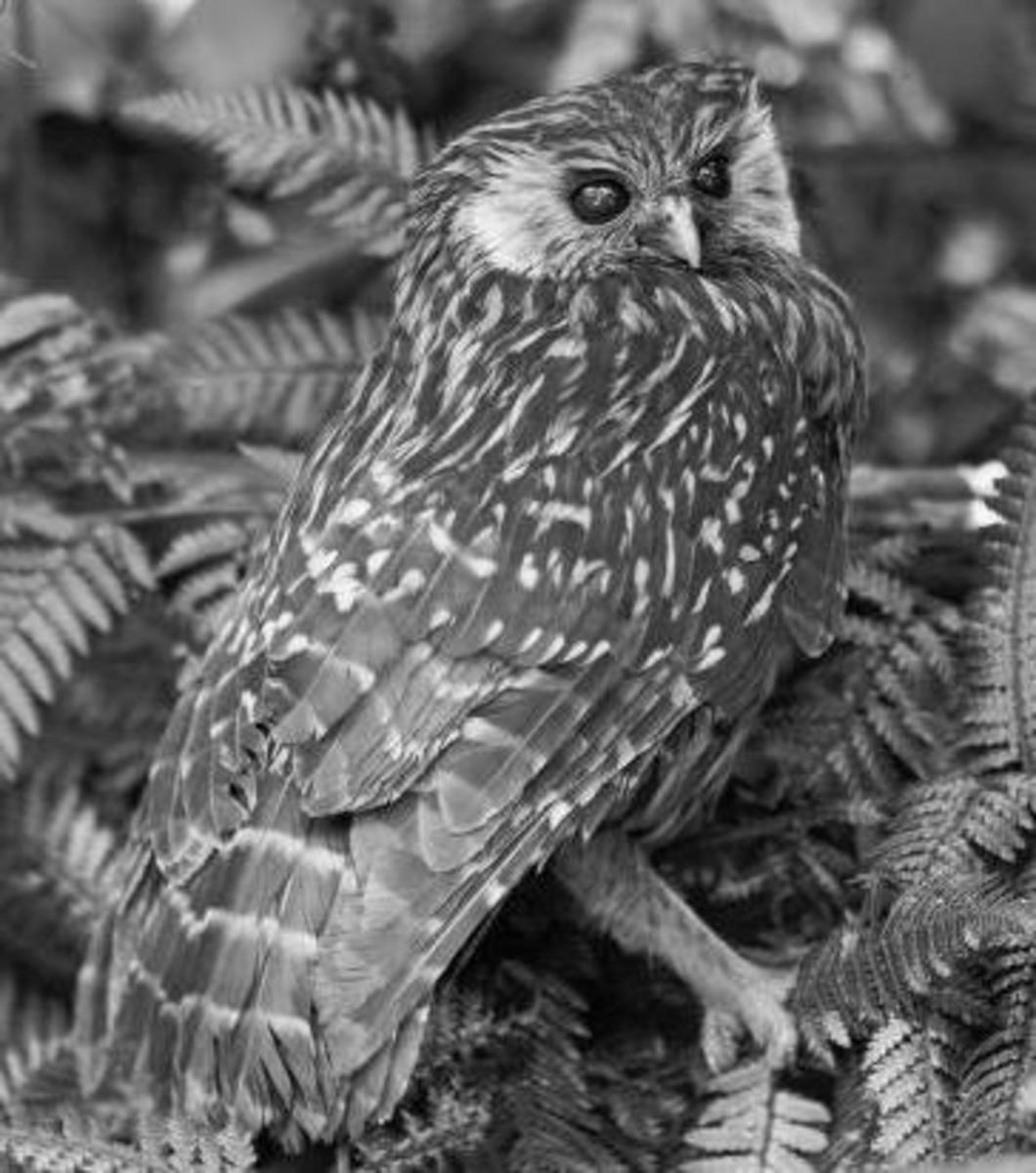 A real photo of the Laughing Owl, taken during 1892 by Henry Charles Clarke Wright