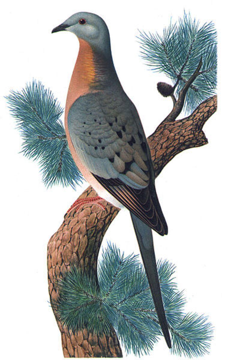 An artist's interpretation of the Passenger Pigeon, published around 1923