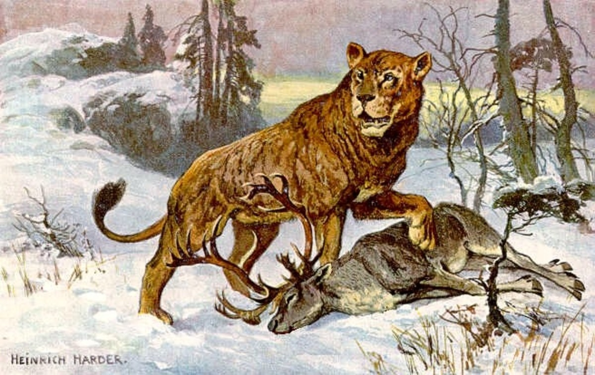 This painting of a cave lion was originally made to illustrate a card collection from the 1920s, to show the difference in size between a reindeer and a cave lion.
