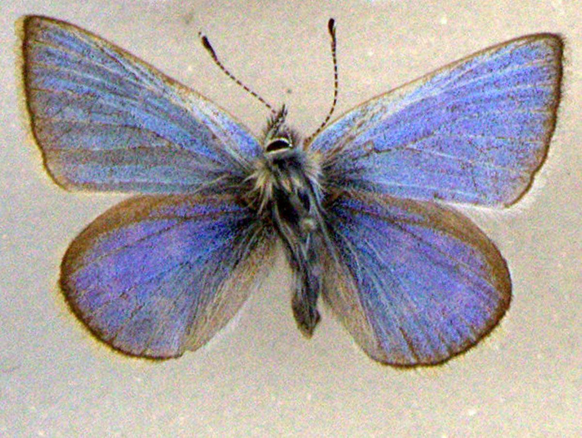 A rare xerces blue butterfly specimen