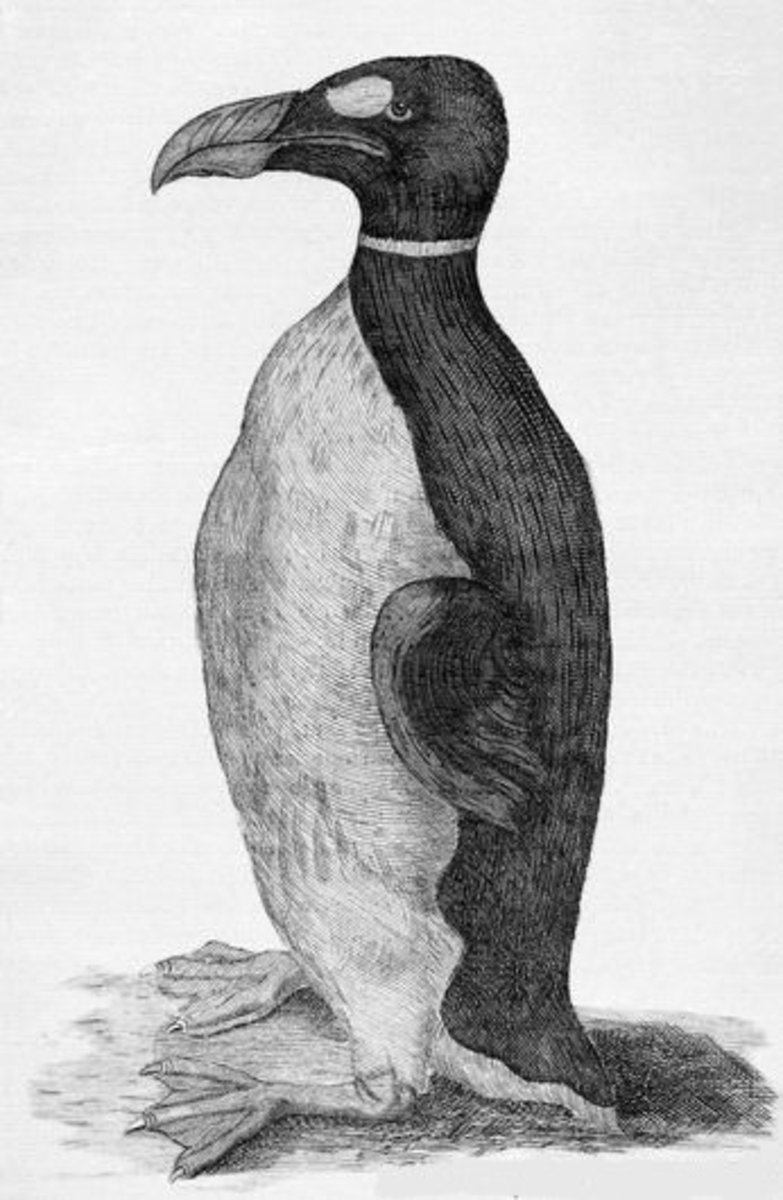 Only known illustration of a Great Auk drawn from life, Ole Worm's pet received from the Faroe Islands (1655)