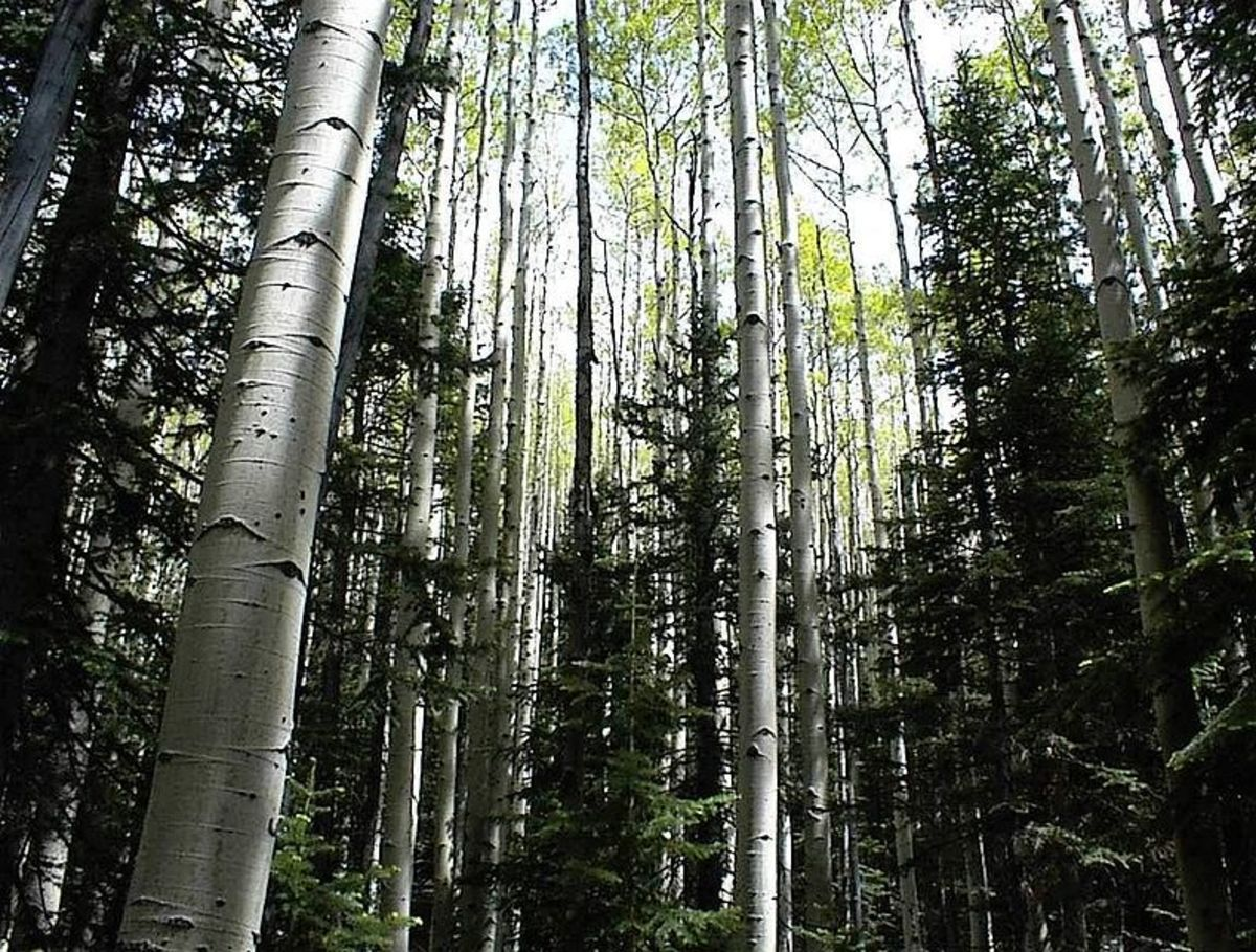 A forest of Aspen trees, tall and majestic