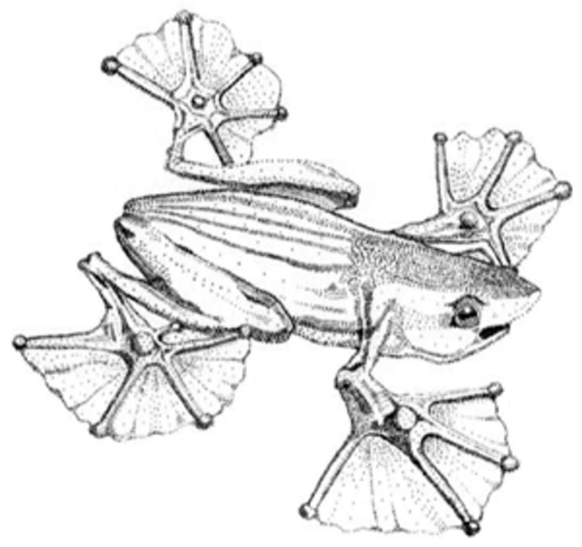 Flying Frog Drawing Flying Frog