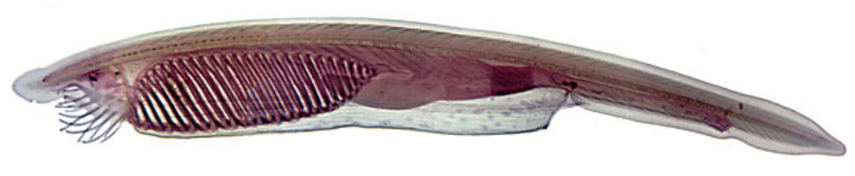 Amphioxus (Lancelets)
