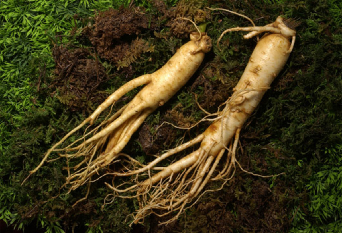 Two roots of the ginseng plant.