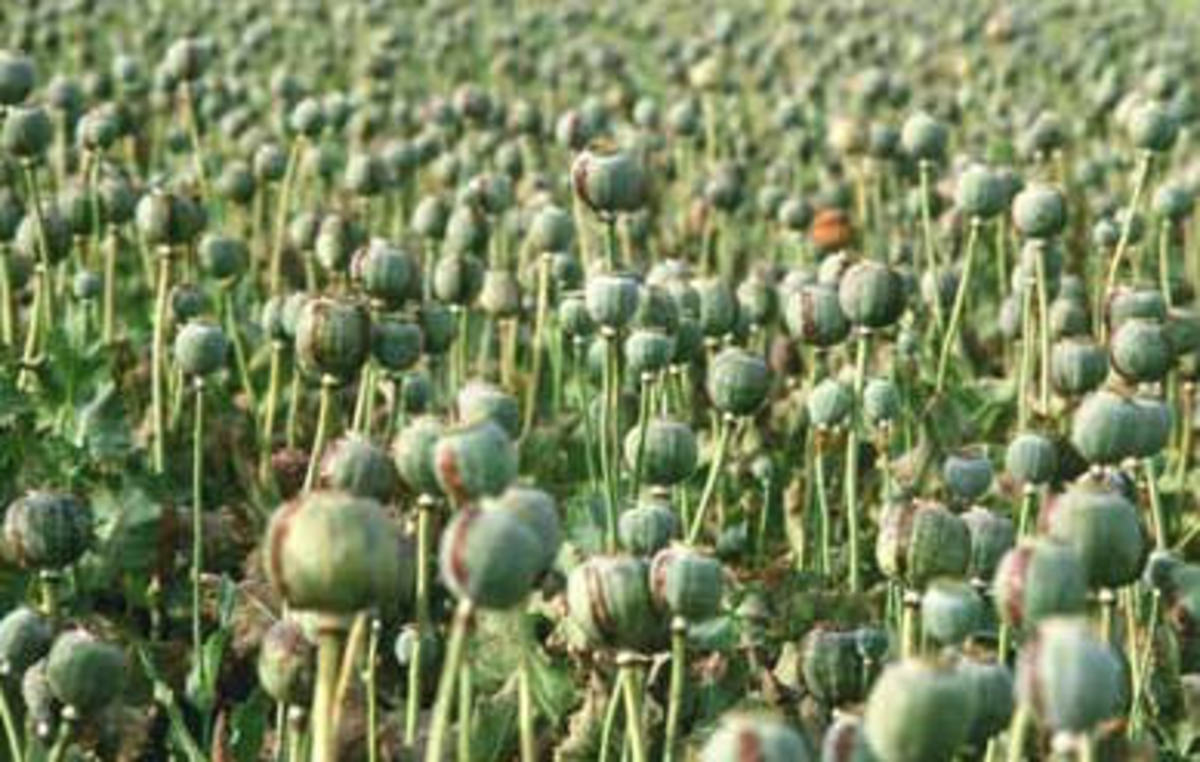 afghans-reap-record-opium-harvest