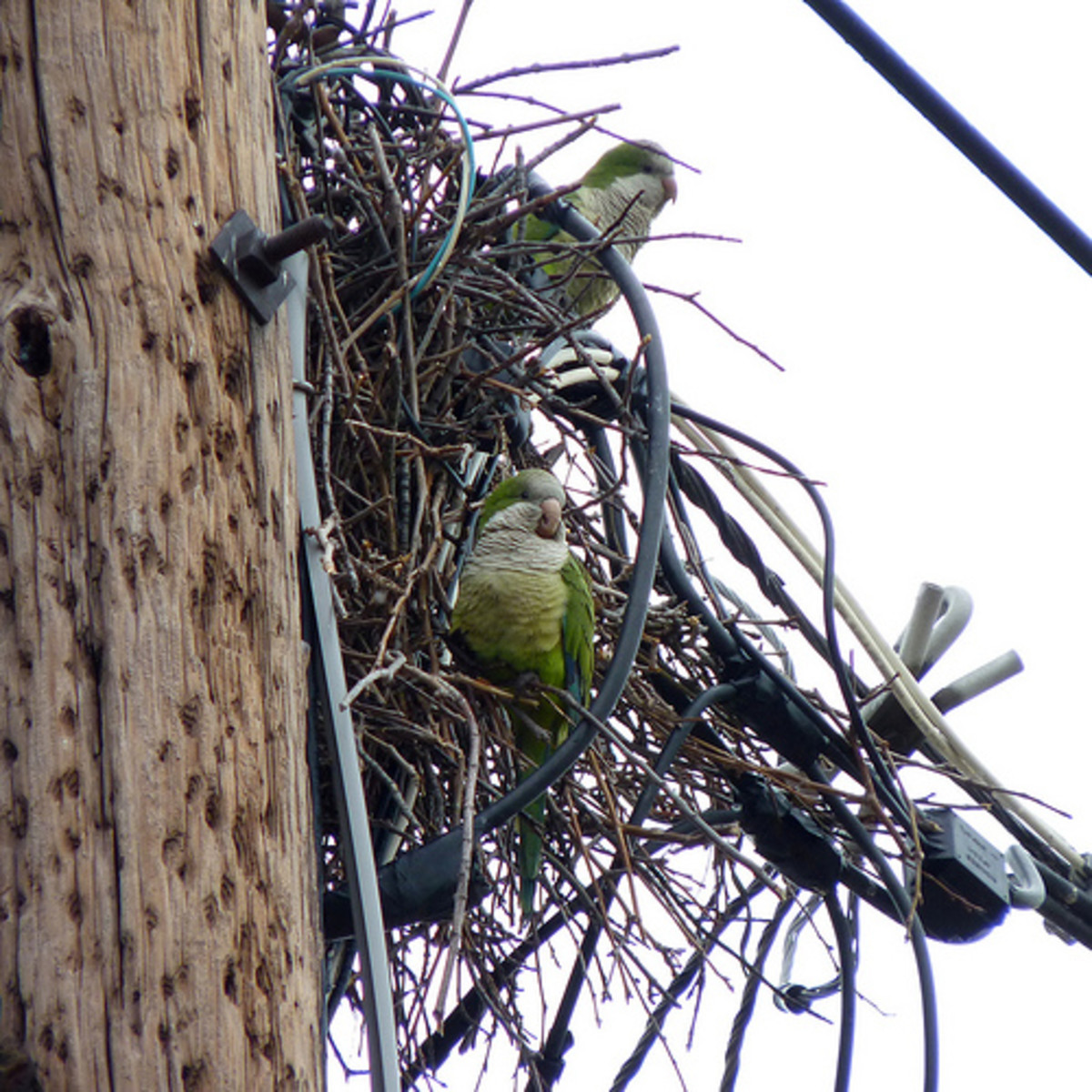 Monk parakeet nests on a power line