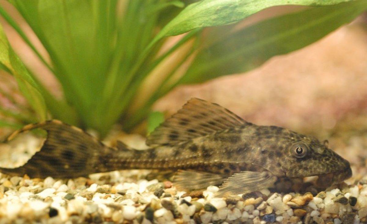 common pleco or suckermouth catfish