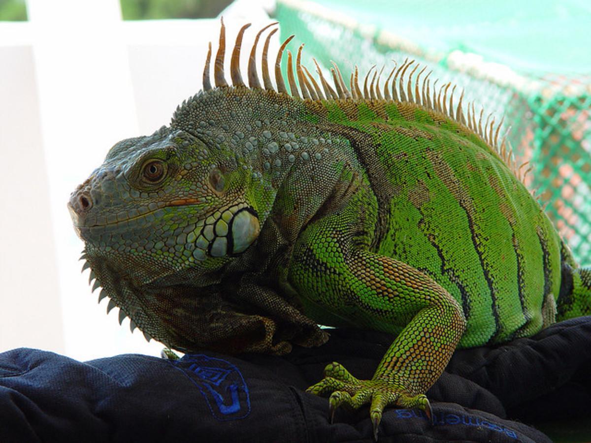 Sub adult green iguana