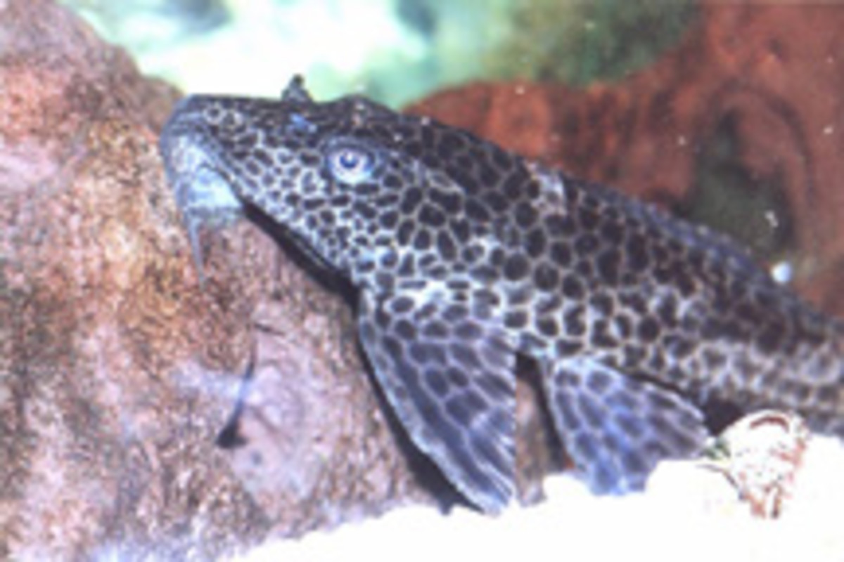 Orinoco Sailfin Catfish