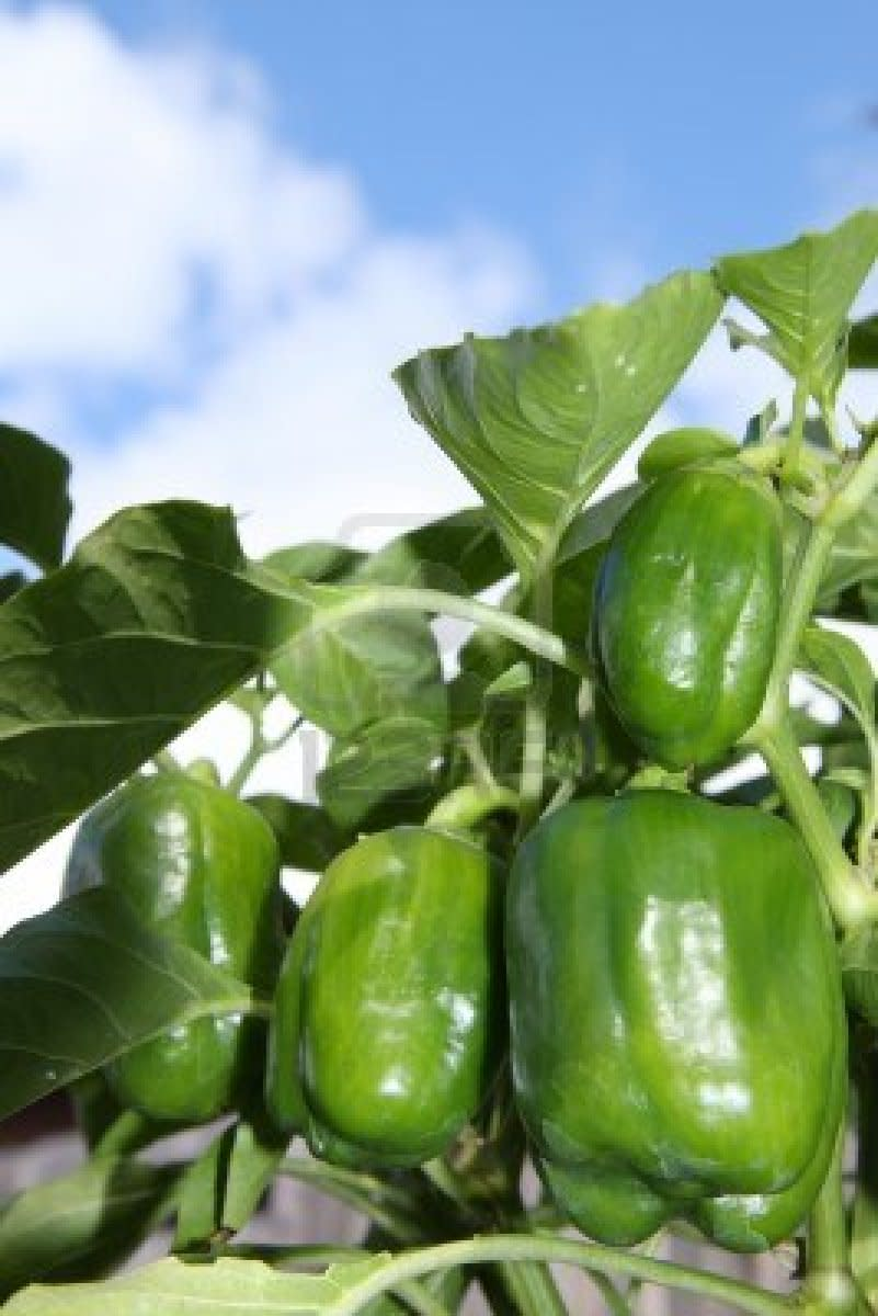 the-idiots-guide-how-to-grow-peppers-capsicums-from-seed