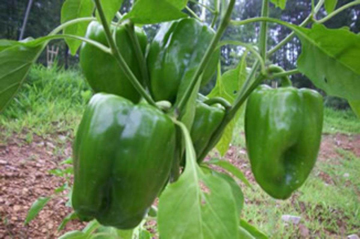 The Idiots Guide: How To Grow Peppers - Capsicums From Seed in The Home
