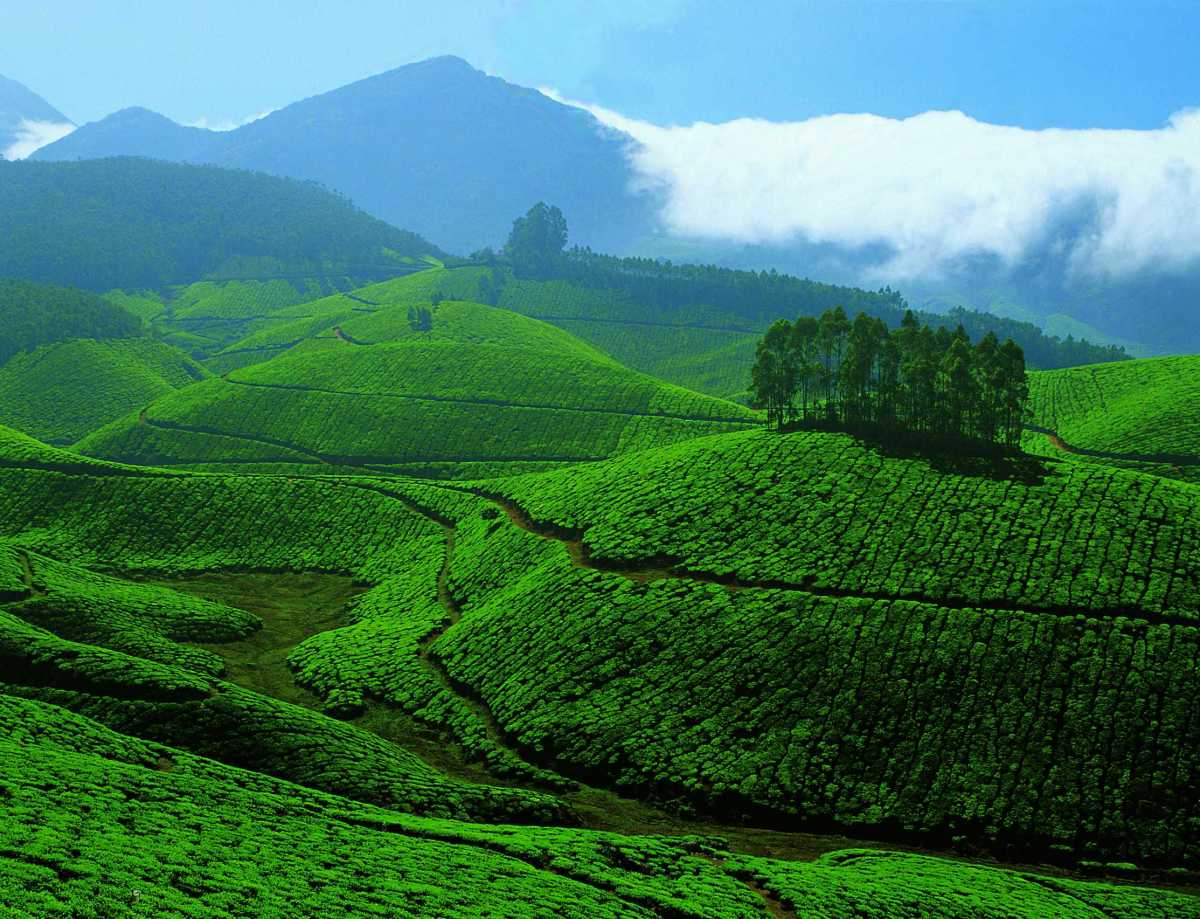The Lush Green Tea Plantation Of Munnar.