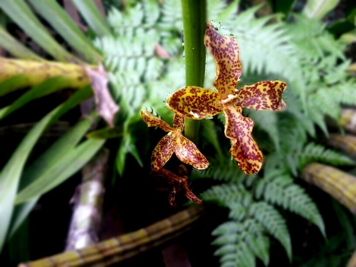 The first few flowers of Tiger Orchids at the base of the stalk, are usually malformed