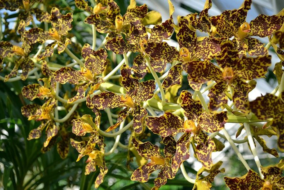 Tiger orchid bloomed at BBG in 2011