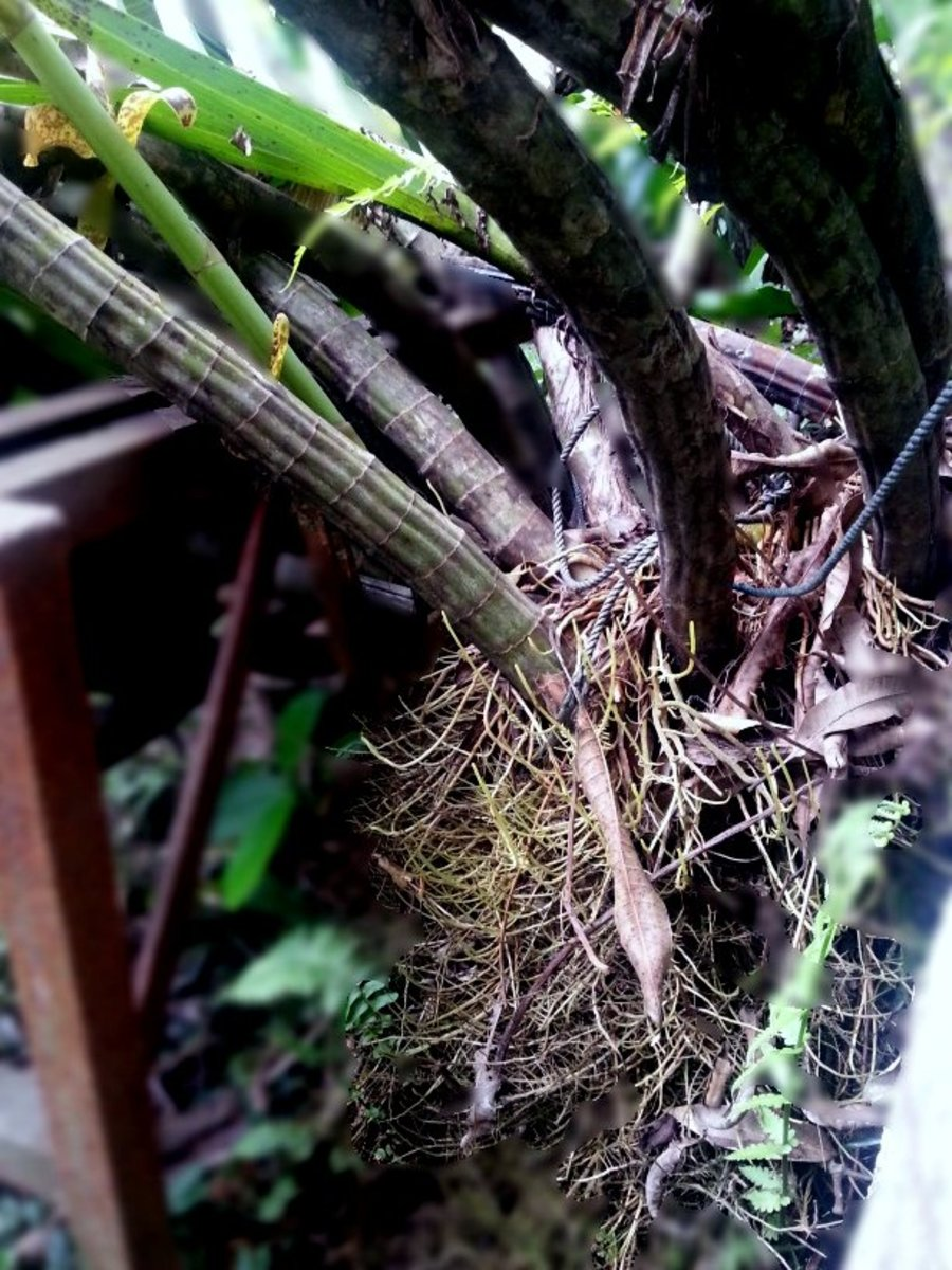 Tiger orchid root system