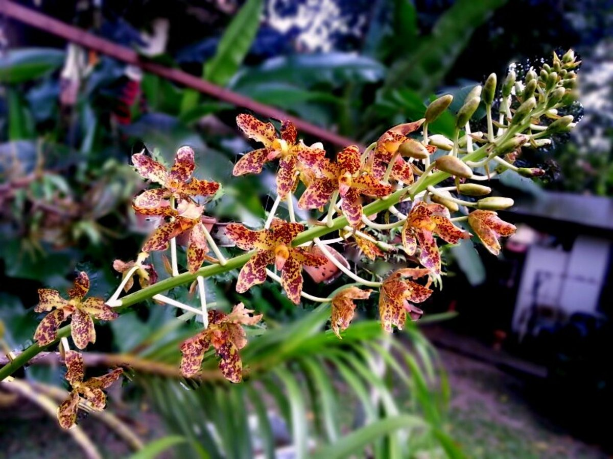 How I Got Tiger Orchid or Grammatophyllum Speciosum Plant To Bloom