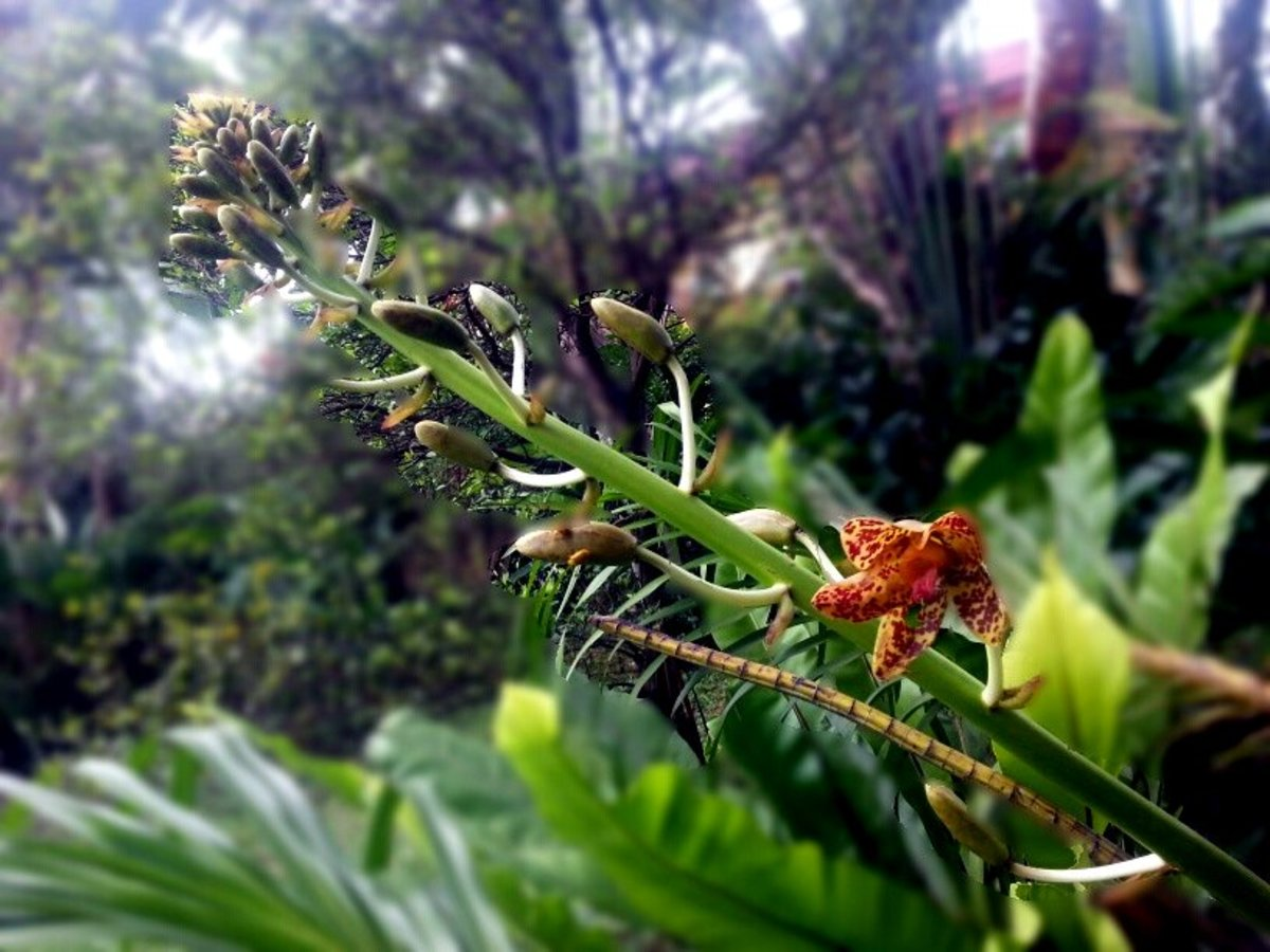 My Tiger Orchid, flowering stalk in its 3rd week (photo taken from another angle)