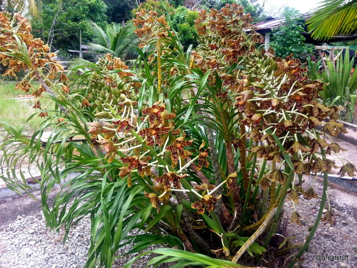 My friend's brilliant tiger orchid plant with ten flower stalks