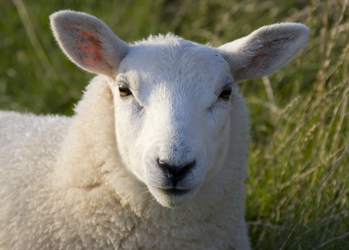 A Perspective on the Parable of the Lost Sheep