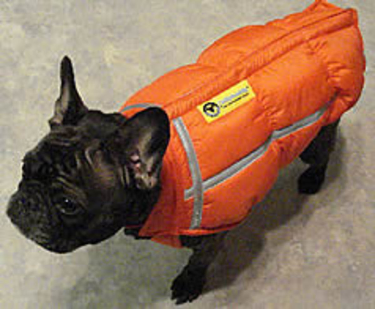 The ChillyBuddy Winter Jacket fits Frenchies.