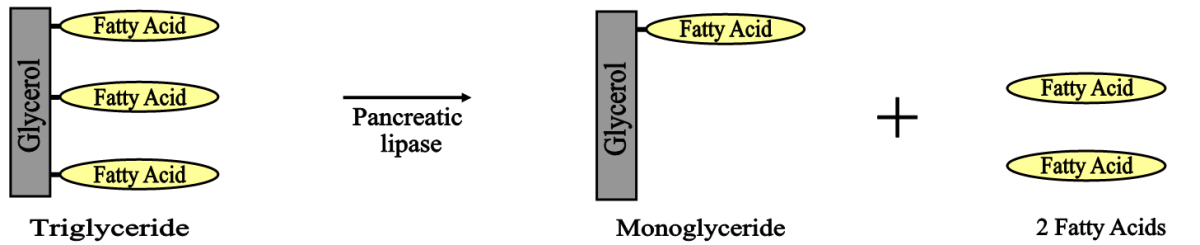 Illustration of the enzymatic digestion of fat -- One molecule of triglyceride produces a monoglyceride and 2 fatty acids.